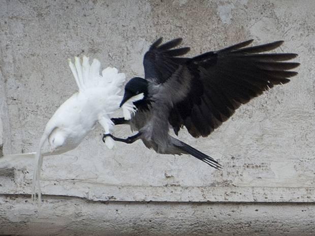 Dove-attack-1