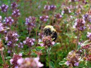 bee-on-thyme