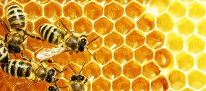 Honey-bees-in-a-hive
